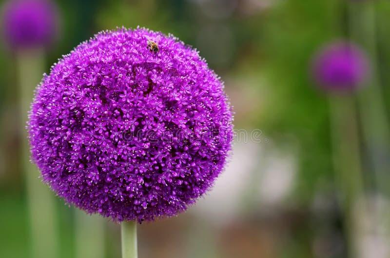Jaskrawego round alium kwiatu makro- strzał fotografia royalty free
