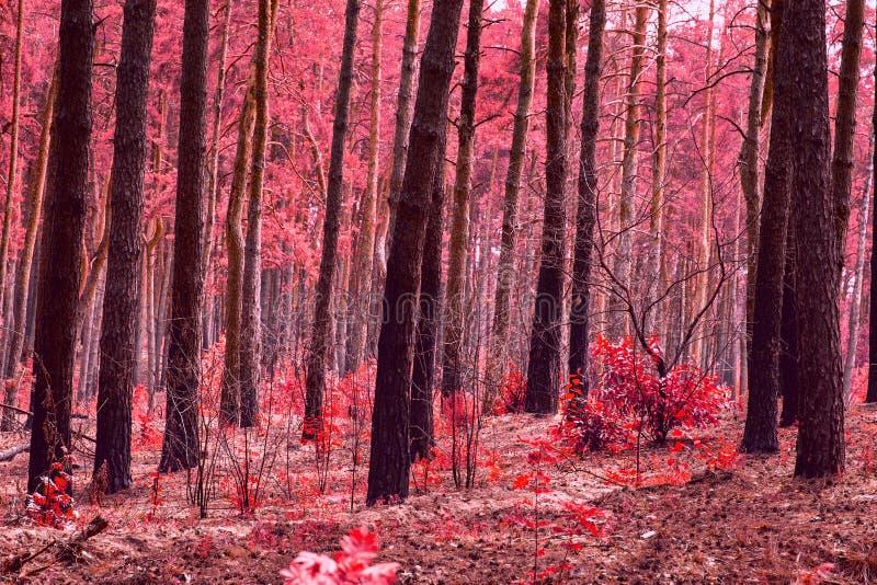 Jaskrawej i czerwonej lasowej magicznej jesieni tajemniczy pustkowie nikt wokoło fotografia stock