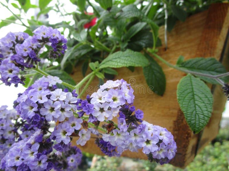 Jaskrawej kolorowej chłodno świeżej petuni Nadziemska lawenda kwitnie w koszykowym pełnym kwiacie, Vancouver, Kanada zdjęcia stock