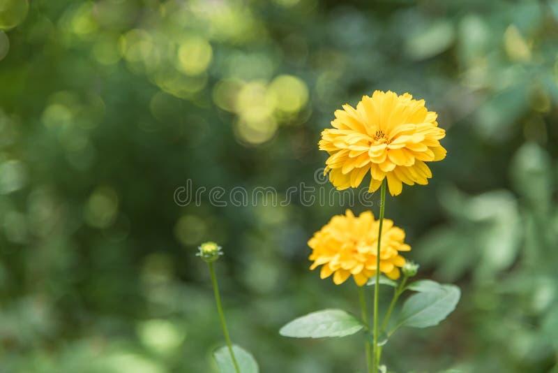 Jaskrawi Żółci dalia kwiaty w lato ogródzie z lśnieniem zielenieją tło fotografia stock