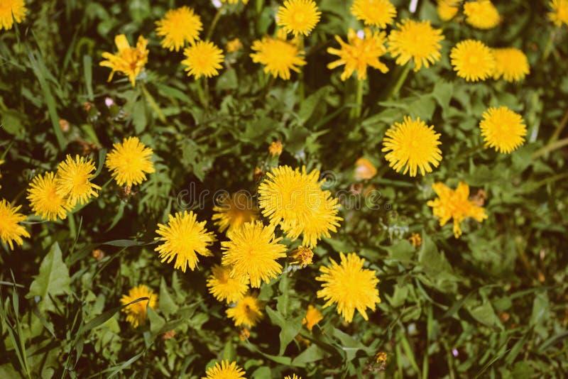 Jaskrawi żółci dandelions na zielonym gazonie na słonecznym dniu Retro styl tonuj?cy obrazy royalty free