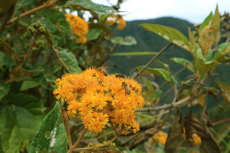 Jaskrawi żółci dzicy kwiaty z wiele pszczołami zbiera nektar na Huayna Picchu górze, Mach Picchu, Cusco, Peru obraz royalty free