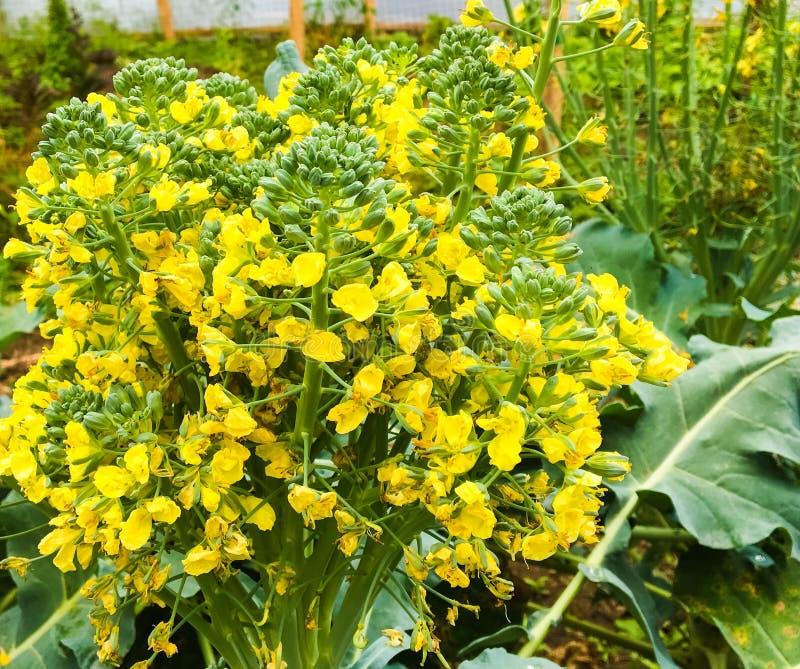 Jaskrawi Żółci Kwitnący brokułów kwiaty zdjęcie stock