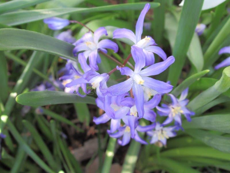 Jaskrawi błękitni gwiazdkowaci kwiaty w ogródzie, kolumbiowie brytyjska, Kanada, 2018 fotografia royalty free