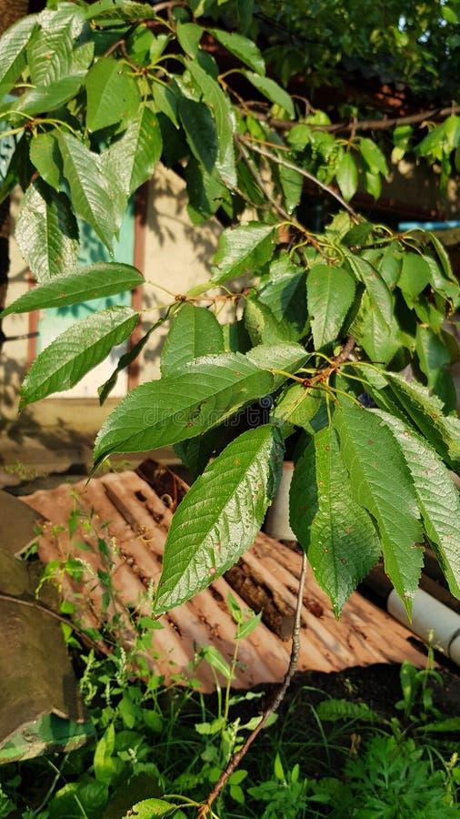 Jaskrawi błyszczący liście czereśniowy drzewo polerowali podeszczową wodą zdjęcia royalty free
