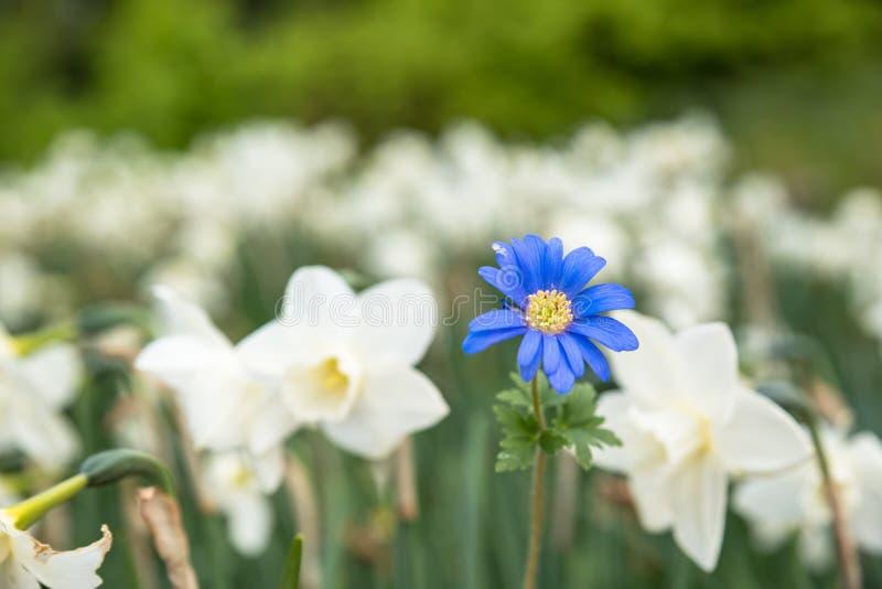 Jaskrawi biali kwiaty z jeden błękitem jest różny out, pozycja zdjęcie stock