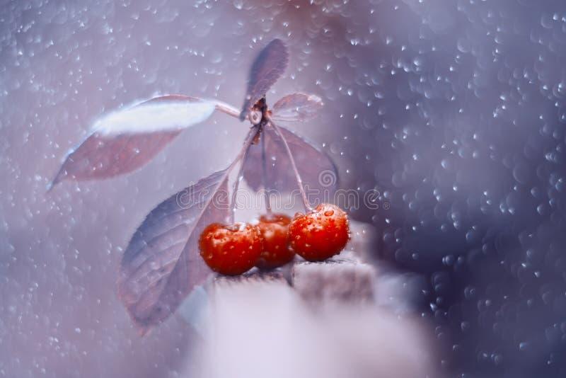 Jaskrawi czereśniowi okwitnięcia na pięknym purpurowym tle z bokeh Artystyczny wizerunek Sztuki praca fotografia stock