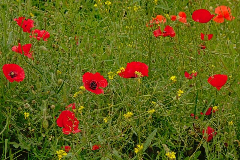 Jaskrawi czerwoni poppis i inni wildflowers w zielenieją pole obrazy royalty free