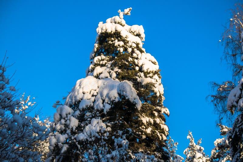 Jaskrawi drzewa w świątecznym śniegu i niebieskie niebo ubieramy dalej pod ranku światłem słonecznym zdjęcia royalty free