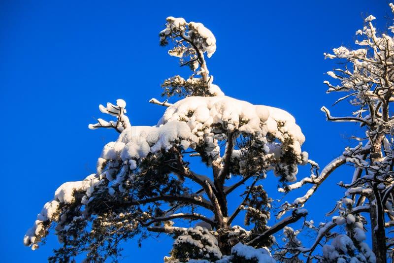 Jaskrawi drzewa w świątecznym śniegu i niebieskie niebo ubieramy dalej pod ranku światłem słonecznym fotografia royalty free