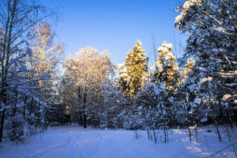 Jaskrawi drzewa w świątecznym śniegu i niebieskie niebo ubieramy dalej pod ranku światłem słonecznym zdjęcia stock