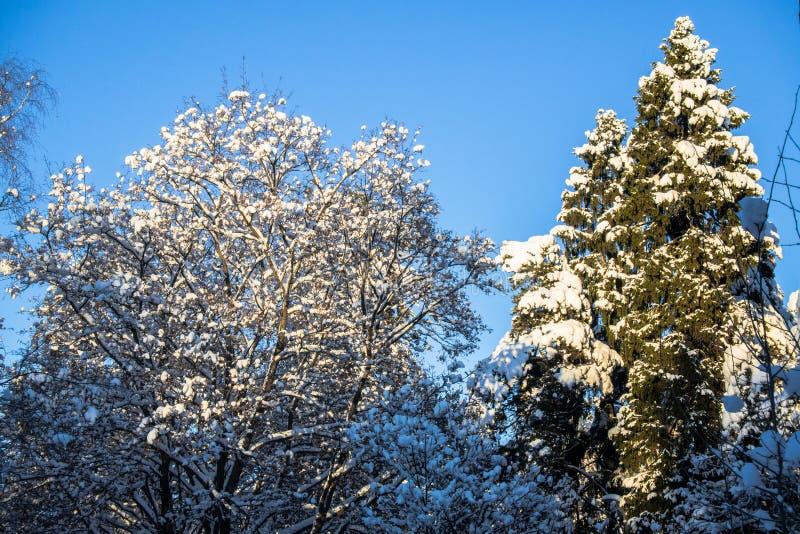 Jaskrawi drzewa w świątecznym śniegu i niebieskie niebo ubieramy dalej pod ranku światłem słonecznym obrazy stock