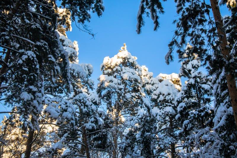 Jaskrawi drzewa w świątecznym śniegu i niebieskie niebo ubieramy dalej pod ranku światłem słonecznym obraz royalty free