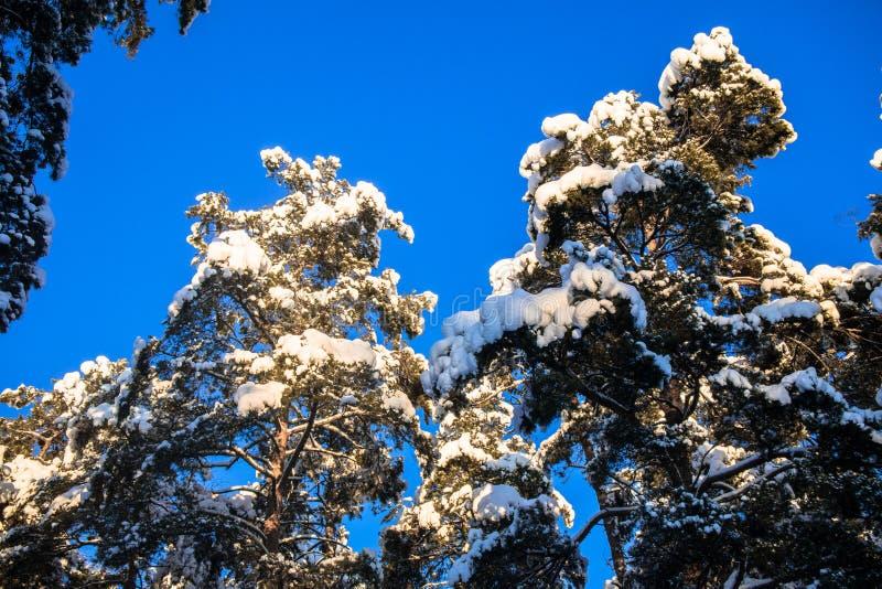 Jaskrawi drzewa w świątecznym śniegu i niebieskie niebo ubieramy dalej pod ranku światłem słonecznym zdjęcie royalty free