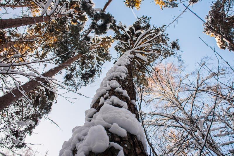 Jaskrawi drzewa w świątecznym śniegu i niebieskie niebo ubieramy dalej pod ranku światłem słonecznym fotografia stock
