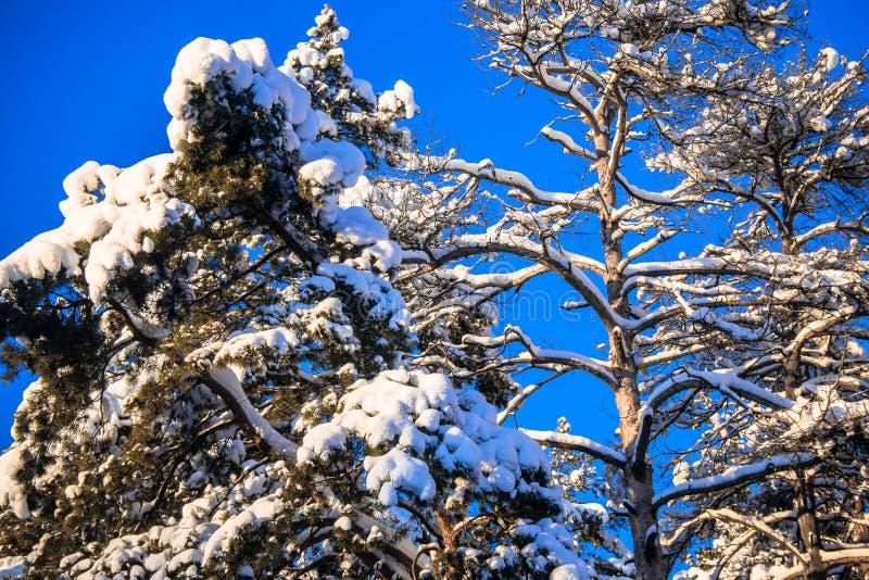 Jaskrawi drzewa w świątecznym śniegu i niebieskie niebo ubieramy dalej pod ranku światłem słonecznym obrazy royalty free