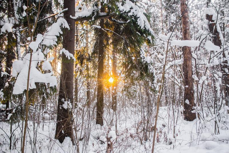 Jaskrawi drzewa w świątecznym śniegu i niebieskie niebo ubieramy dalej pod ranku światłem słonecznym obraz stock