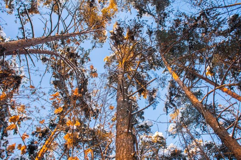 Jaskrawi drzewa w świątecznym śniegu i niebieskie niebo ubieramy dalej pod ranku światłem słonecznym zdjęcie stock