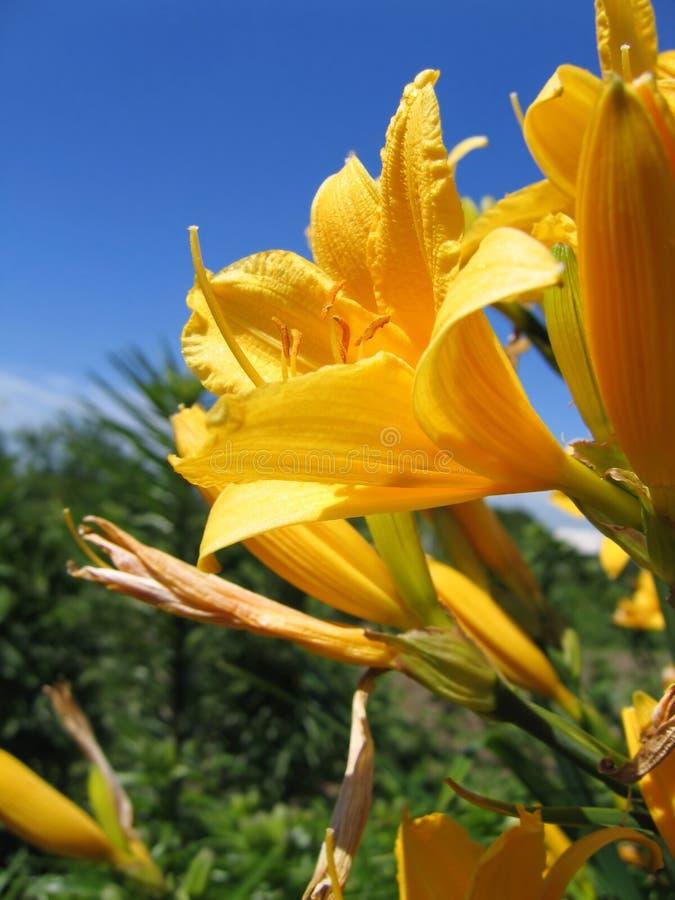 Jaskrawi kolor żółty kwiaty obrazy stock