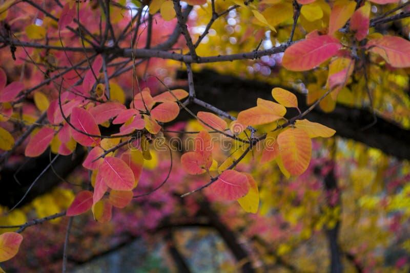 Jaskrawi kolorowi jesień liście na czarnych gałąź zdjęcia royalty free