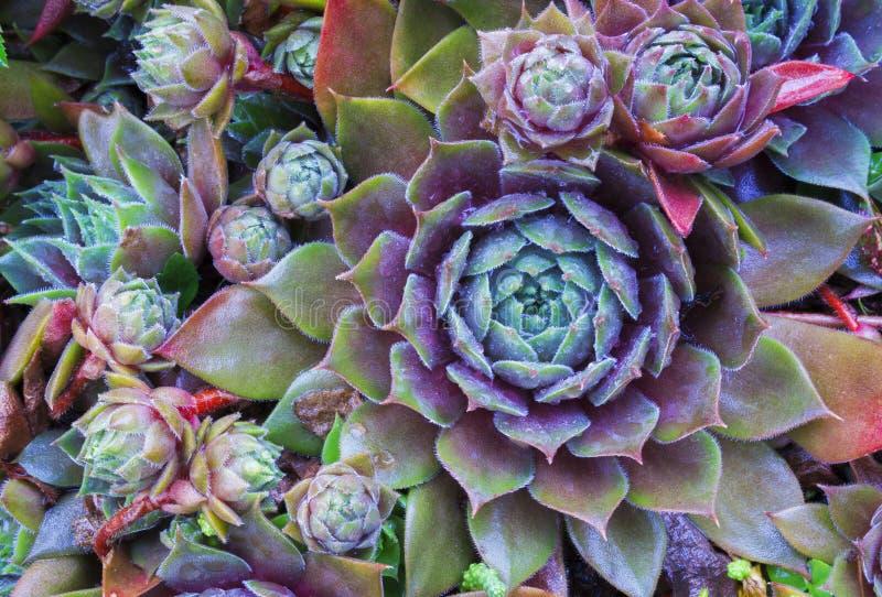 Jaskrawi kwiatu Sempervivum tectorum, sukulenty lub crassulaceae z wodnymi kroplami, Zbliżenie fotografia, selekcyjna miękka ostr obraz royalty free