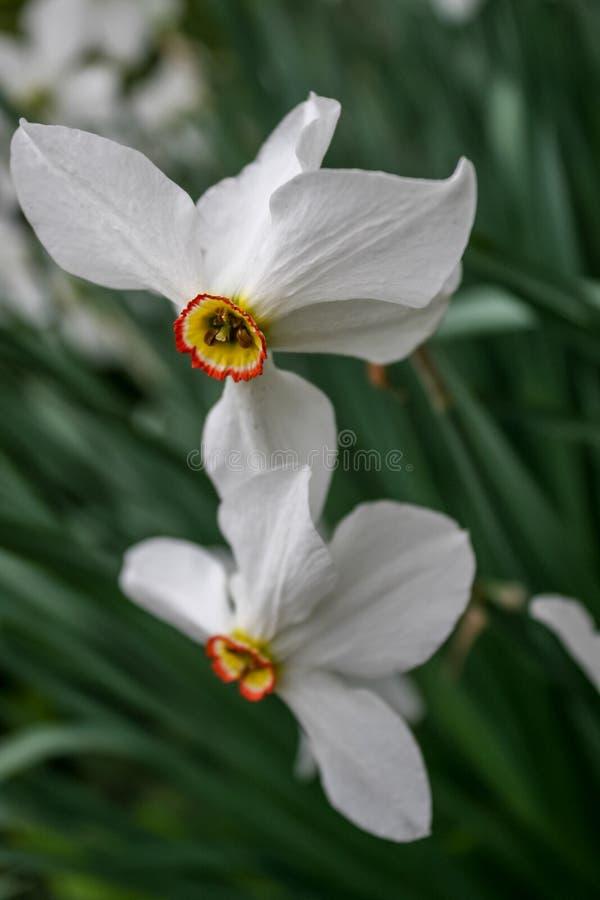 Jaskrawi kwitnący biali żółci daffodils obraz stock