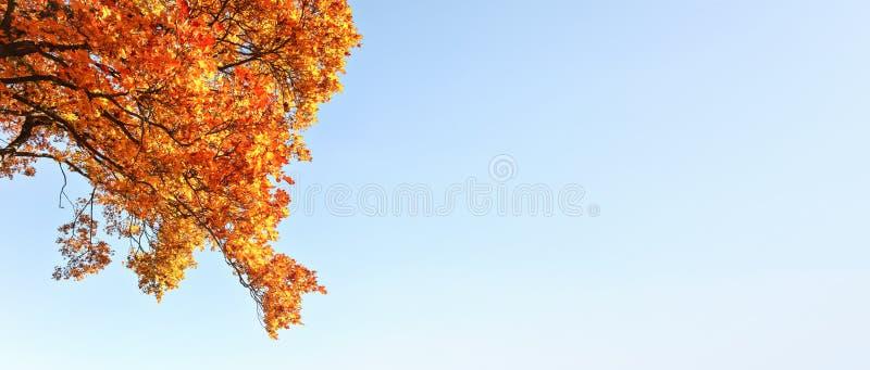 Jaskrawi pomarańczowego koloru żółtego jesieni liście przeciw jasnemu niebieskiemu niebu Szeroki sztandar z przestrzeni? dla teks obraz royalty free
