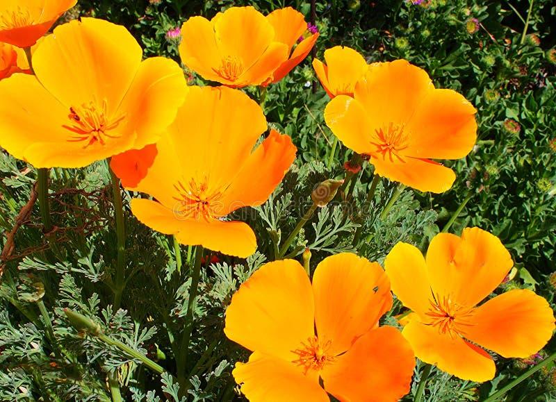 Jaskrawi Pomarańczowi Kalifornia maczki obraz royalty free