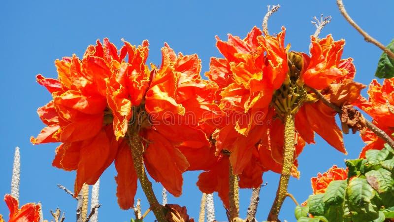 Jaskrawi pomarańczowi tropikalni kwiaty w kanarkach zdjęcia royalty free