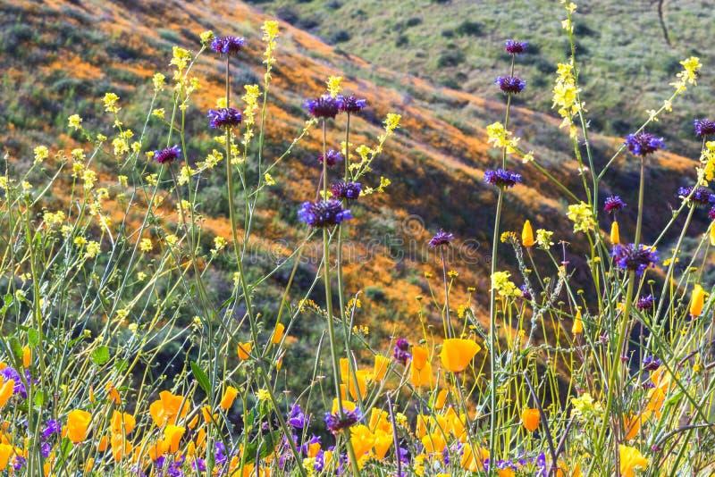 Jaskrawi pomarańczowi wibrujący żywi złoci Kalifornia maczki, sezonowej wiosny rodzime rośliny, zakończenie w górę purpurowych i  fotografia royalty free