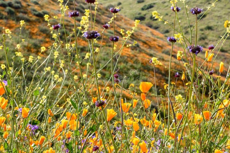 Jaskrawi pomarańczowi wibrujący żywi złoci Kalifornia maczki, sezonowej wiosny rodzime rośliny, zakończenie w górę purpurowych i  obrazy royalty free