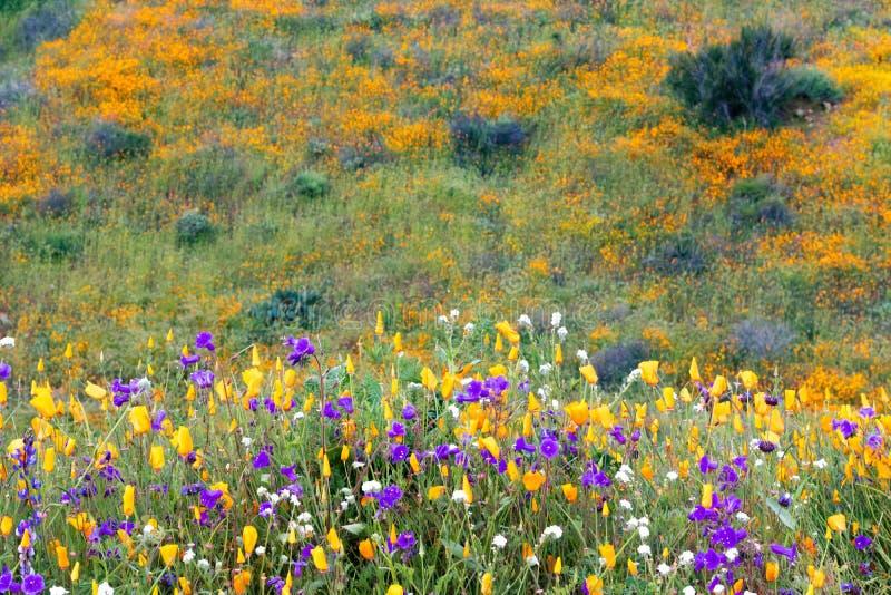Jaskrawi pomarańczowi wibrujący żywi złoci Kalifornia maczki, sezonowi wiosen rodzimych rośliien wildflowers w kwiacie obrazy stock