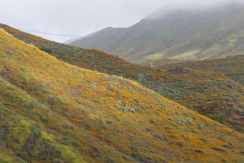 Jaskrawi pomarańczowi wibrujący żywi złoci Kalifornia maczki, sezonowi wiosen rodzimych rośliien wildflowers w kwiacie, mglisty r obraz stock