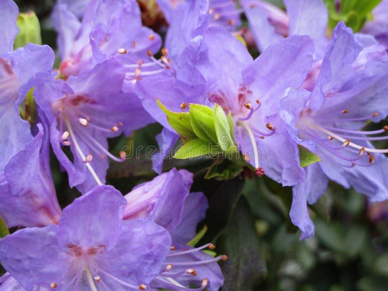 Jaskrawi purpurowi leluja kwiaty zamykają up, kolumbiowie brytyjska, Kanada, 2018 zdjęcie royalty free