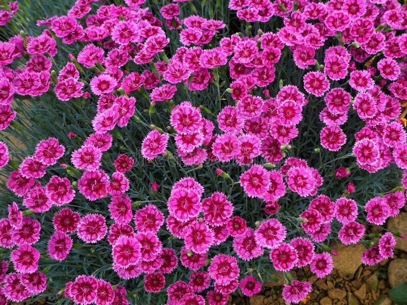 Jaskrawi różowi Dianthus kwiaty różowią, rozmaitości złota drobina fotografia stock