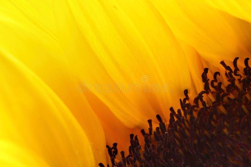Jaskrawi słonecznikowi płatki zamknięci bez tła up obrazy stock