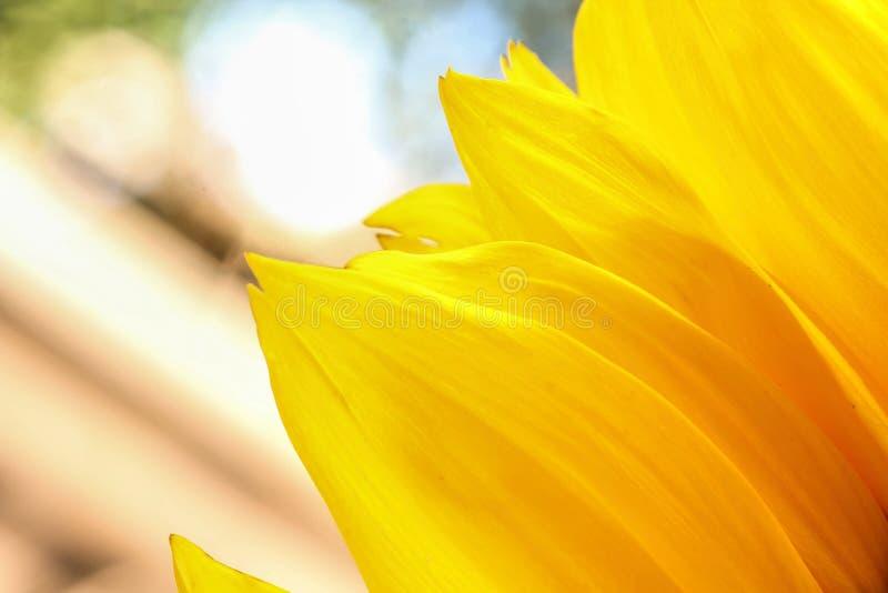 Jaskrawi słonecznikowi płatki zamknięci up na lekkim tle obrazy royalty free
