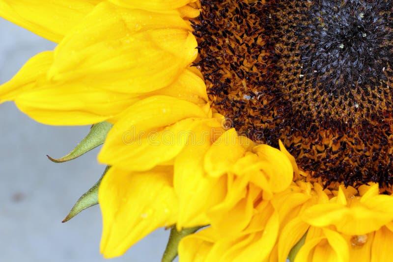 Jaskrawi słonecznikowi płatki zamknięci up na lekkim tle fotografia stock