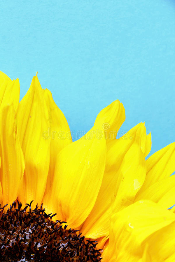 Jaskrawi słonecznikowi płatki zamykają up na bławym tle zdjęcie royalty free