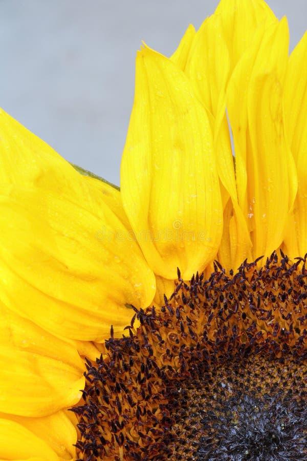 Jaskrawi słonecznikowi płatki zamykają up na bławym tle obraz royalty free