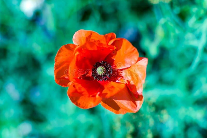 Jaskrawi szkarłatni czerwoni pospolici makowi kwiatu Papaver rhoeas strzelali od wysokiego kąta przeciw zielonej trawie zdjęcie royalty free