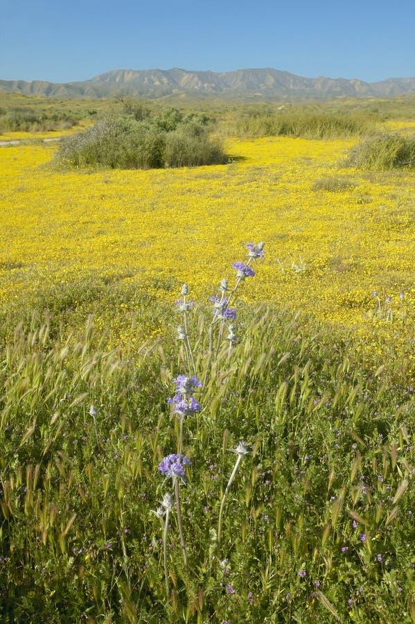 Jaskrawi wiosna koloru żółtego kwiaty i pustynny złoto blisko gór w Carrizo Krajowym zabytku USA dział wnętrze, i zdjęcia royalty free