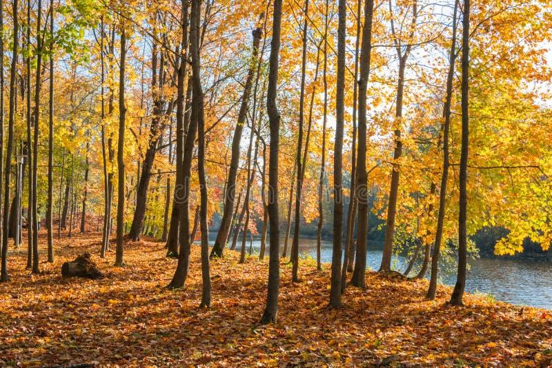 Jaskrawi złoci klonów drzewa stoi blisko rzeki na słonecznym dniu Złota jesień obraz royalty free