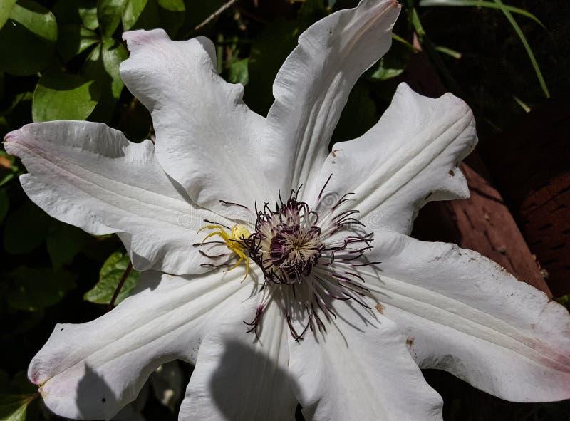 Jaskrawy żółty pająk na białym Passiflora kwiacie fotografia stock