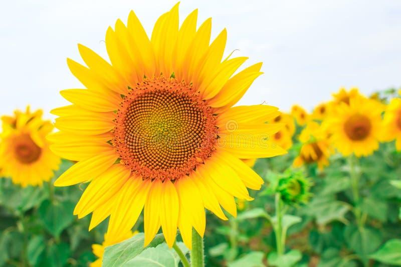 Jaskrawy żółty słonecznik na polu kwitnący słoneczniki zdjęcia royalty free