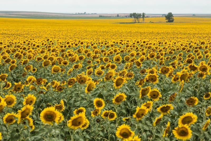Jaskrawy Żółty słonecznika pole w Południowym Dakota zdjęcie stock