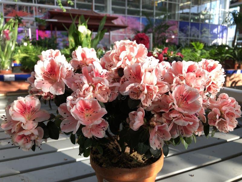 Jaskrawy światło - różowi egzotyczni kwiaty rododendronowe rośliny zdjęcie stock