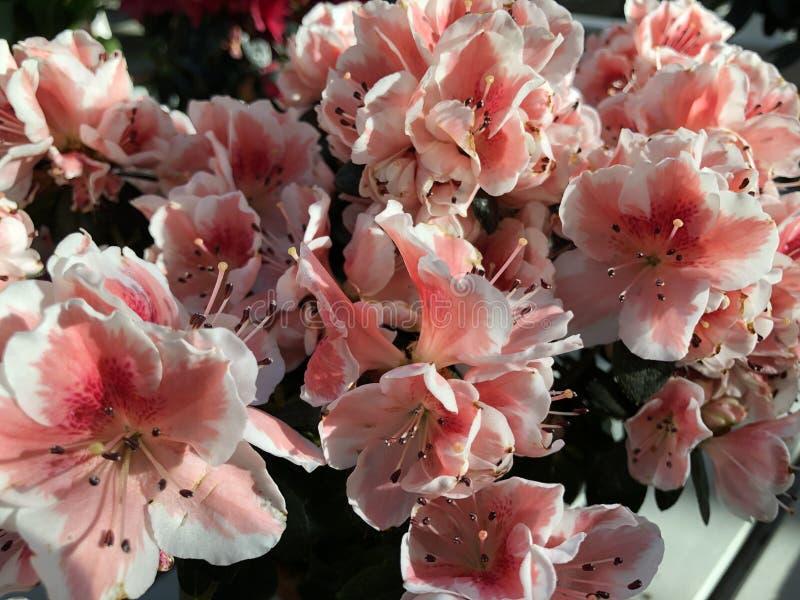Jaskrawy światło - różowi egzotyczni kwiaty rododendronowe rośliny fotografia stock