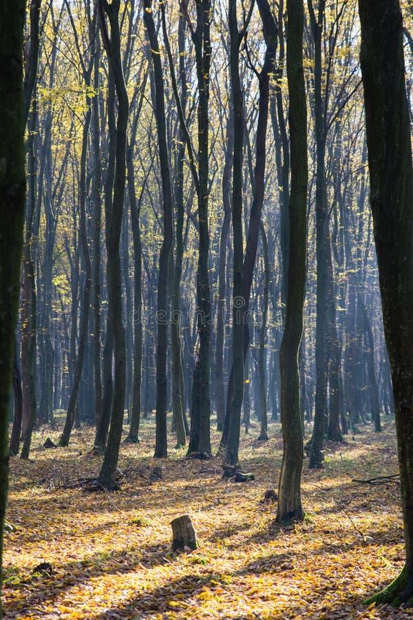 Jaskrawy światło słoneczne na jesień lesie obraz royalty free