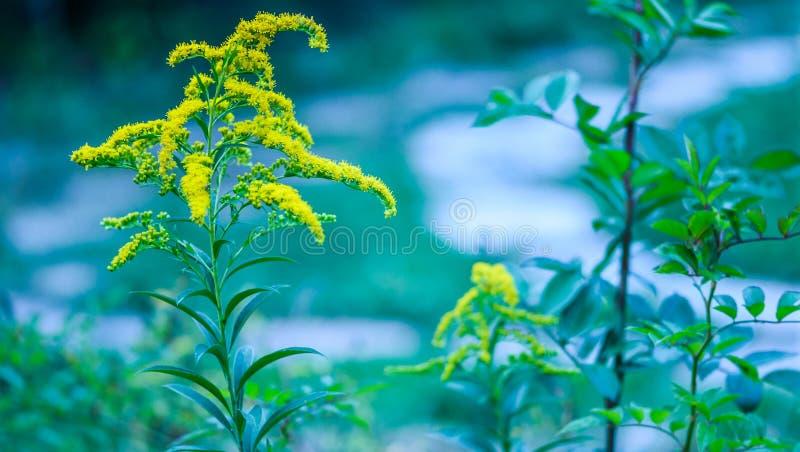 Jaskrawy żółty goldenrod z wysokim zielonym trzonem, liście Lato łąkowa trawa z delikatnym zamazanym tłem w zieleni, błękit barwi fotografia stock
